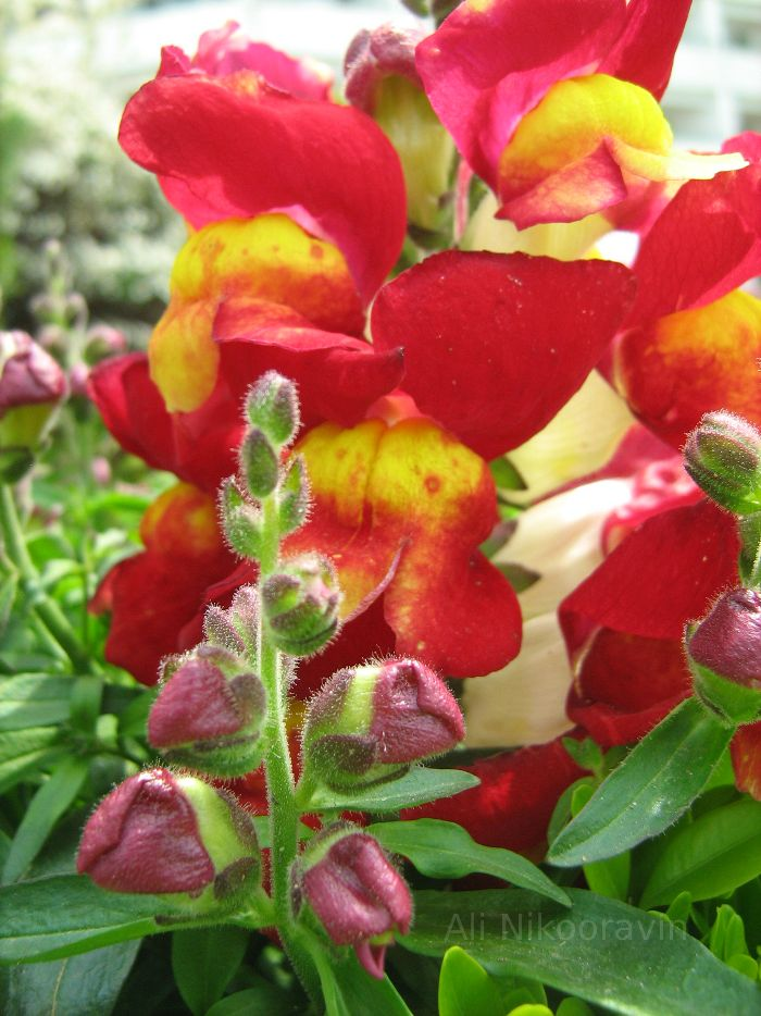 Snapdragons.  Flowers