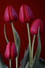 Gorgeous Tulips