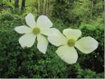 Dogwoods in British Columbia, Canada
