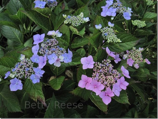 Pink and Blue Hydrangea