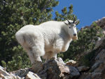 Mountain Goat in Utah.