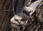 Owlets in a nest