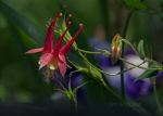 Beautiful Red Columbine in Kentucky