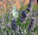 Butterfly in Brough East Yorkshire