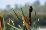 Robin on a Cattail