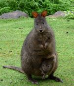 Baby Wallaby and Mama Wallaby
