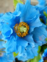 Blue Poppy in Scotland
