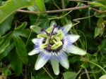 Passion fruit flower on Sisters Beach, Tasmania, Australia