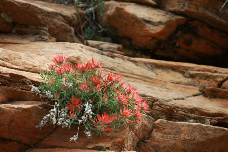 Flowers in Zion National Park
