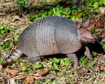 Armadillo in Armand Bayou Nature Center, Humble, TX