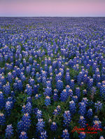 Gorgeous field of Bluebonnet in Washington County, TX