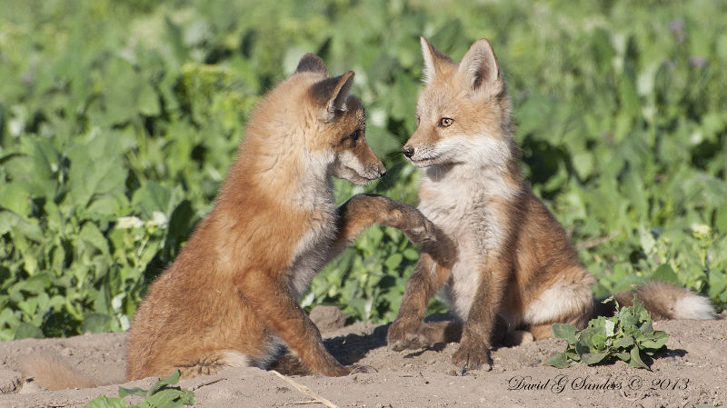 Fox pups near Farmington, Utah