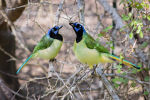 Green Jays in Texas