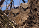 Owlets near Lincoln, Nebraska