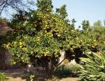 Citrus Tree in Arizona