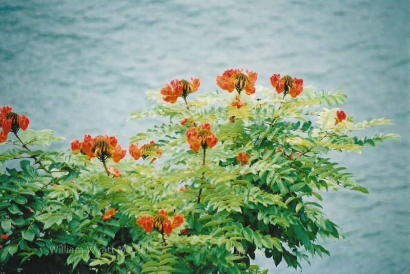 Maui, Hawaii, flowers over the beach