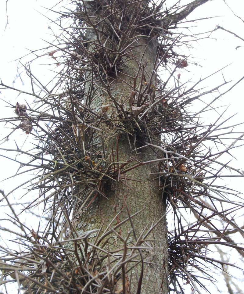 Odd looking tree with spikes.