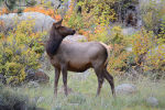 Cow Elk in Rocky Mountain National Park