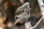 Jungle Babblers in Udupi, India
