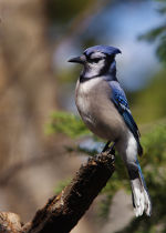 Blue Jay in Lincoln, Nebraska