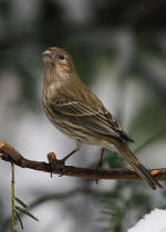 Pine Siskin finch in Lincoln, Nebraska