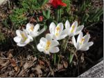 White Crocus in Cowichan Bay, BC, Canada