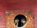 Swallows in a bird house, looking for Mama.