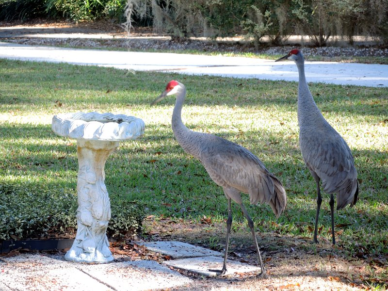 Sandhill Cranes in Florida