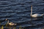 Trumpeter Swans in Michigan