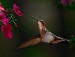 Gorgeous hummingbird at a Maine flower