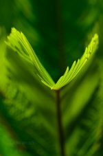 Sprouting Leaf frond