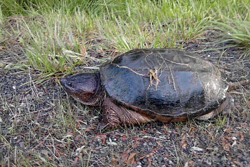 Snapping turtle in PA