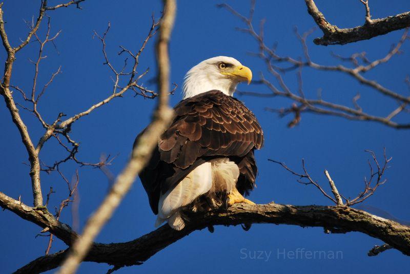 Bald Eagle Rhode Island