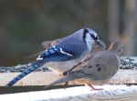 Blue Jay and Dove in Holly Springs, NC