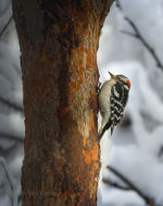 Woodpecker near Lincoln, Nebraska