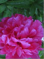 Peony in Cowichan Bay, British Columbia