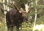 Moose in Isle Royale National Park