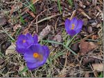 Purple Crocus in British Columbia