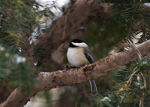 Chickadee in Nebraska