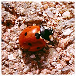 Lady bug in Oklahoma
