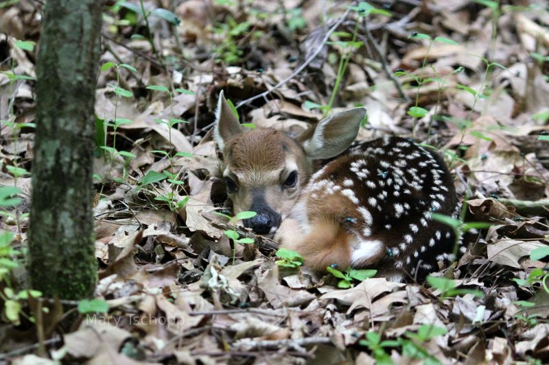 Newborn fawn in North Carolina