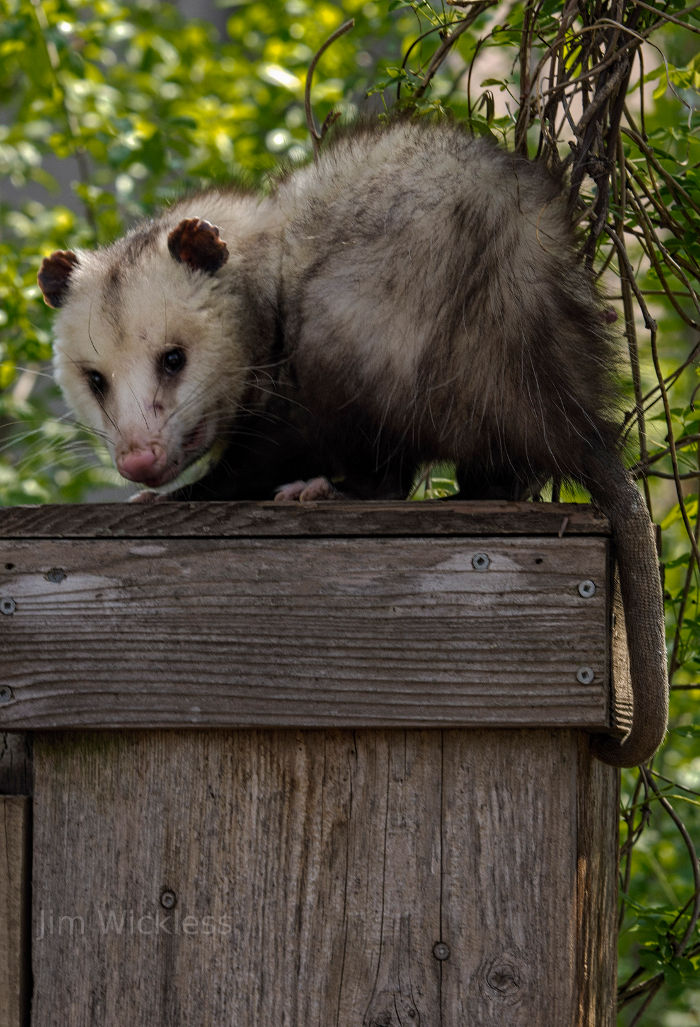 Opossum in Lincoln, Nebraska