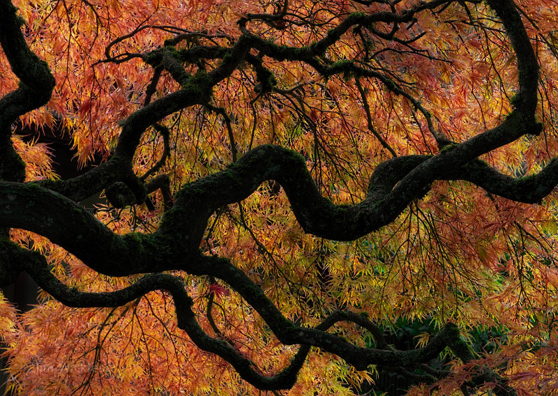 Japanese Maple in Portland, Oregon