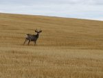 Mule deer in Idaho