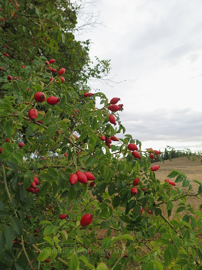 Rose Hips with Vitamin C