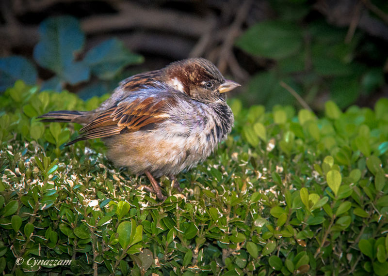 Puffy little bird posing on the ground.