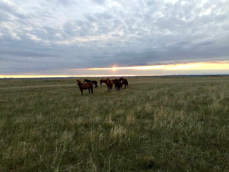 Horses on the Plains of montana