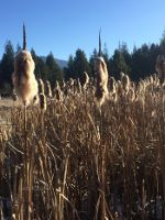 Cattails in Montana