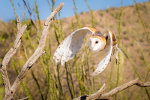 Barn Owl Flying Over Desert
