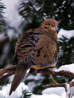 Mourning Dove in Nebraska